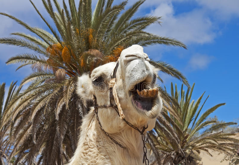 Amusing camel. Camel in an amusing close-up, Maspalomas camel ranch, Gran Canaria, Spain royalty free stock image