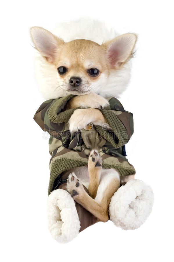 Download Amusing Chihuahua Puppy Dressed In Khaki Jumpsuit Royalty Free Stock Images - Image: 12103349