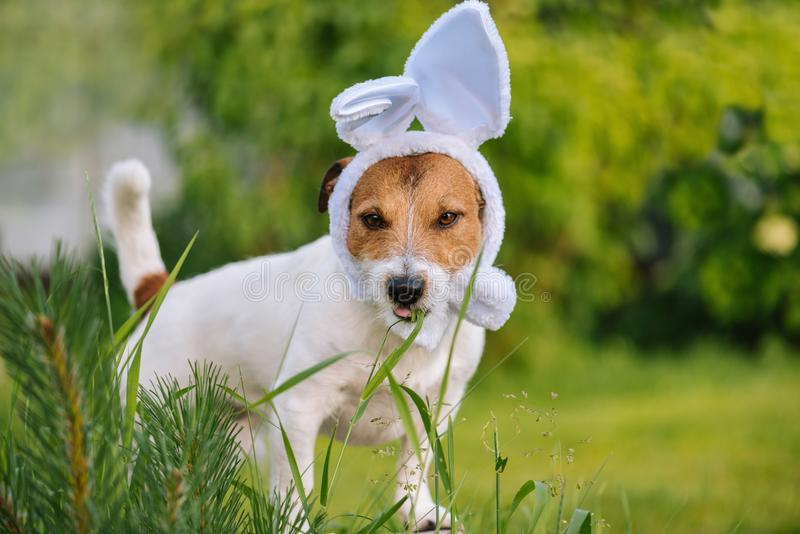 Funny dog wearing Easter bunny costume chewing grass stock photos