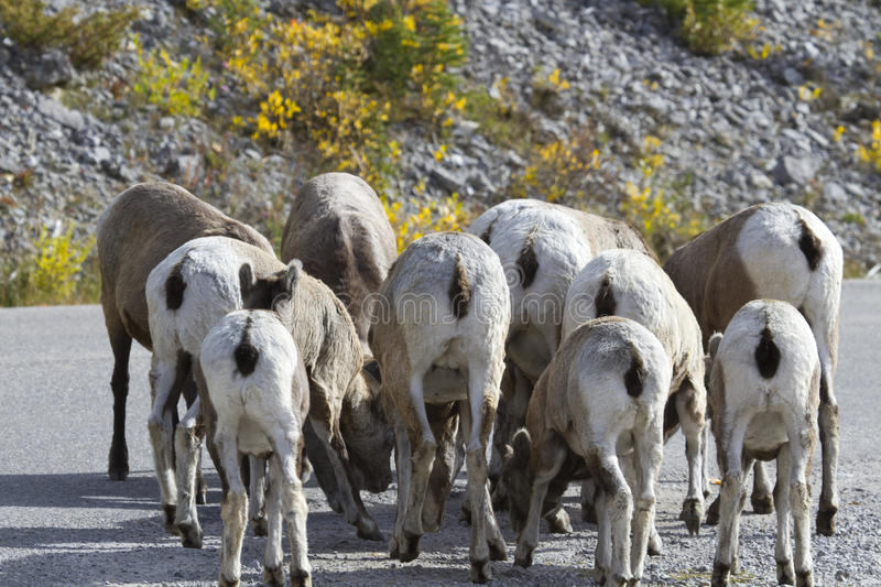 Amusing flock of bighorn sheep with rear views stock images