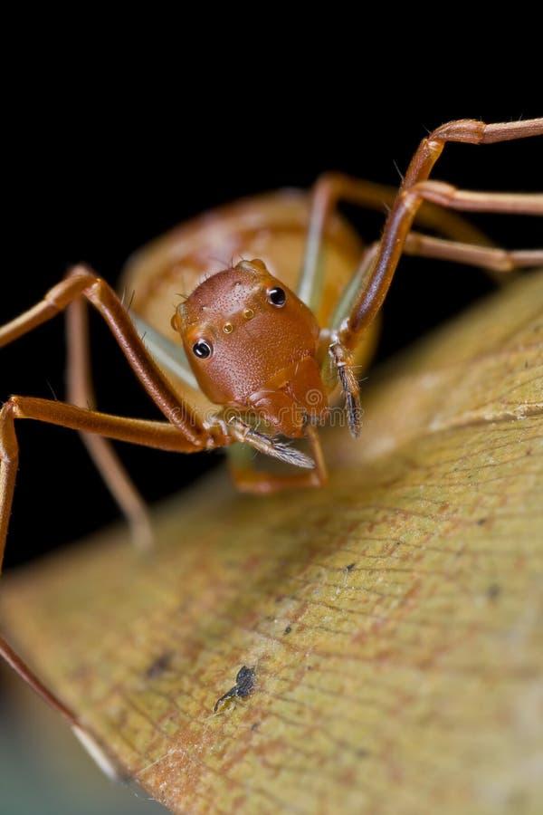 amyciaea mrówki kraba lineatipes mimiczny pająk obrazy royalty free
