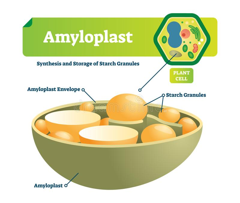 Amyloplast vector illustration structure diagram. Labeled medical scheme with synhesis and storage of starch granules. Amyloplast vector illustration. Labeled vector illustration