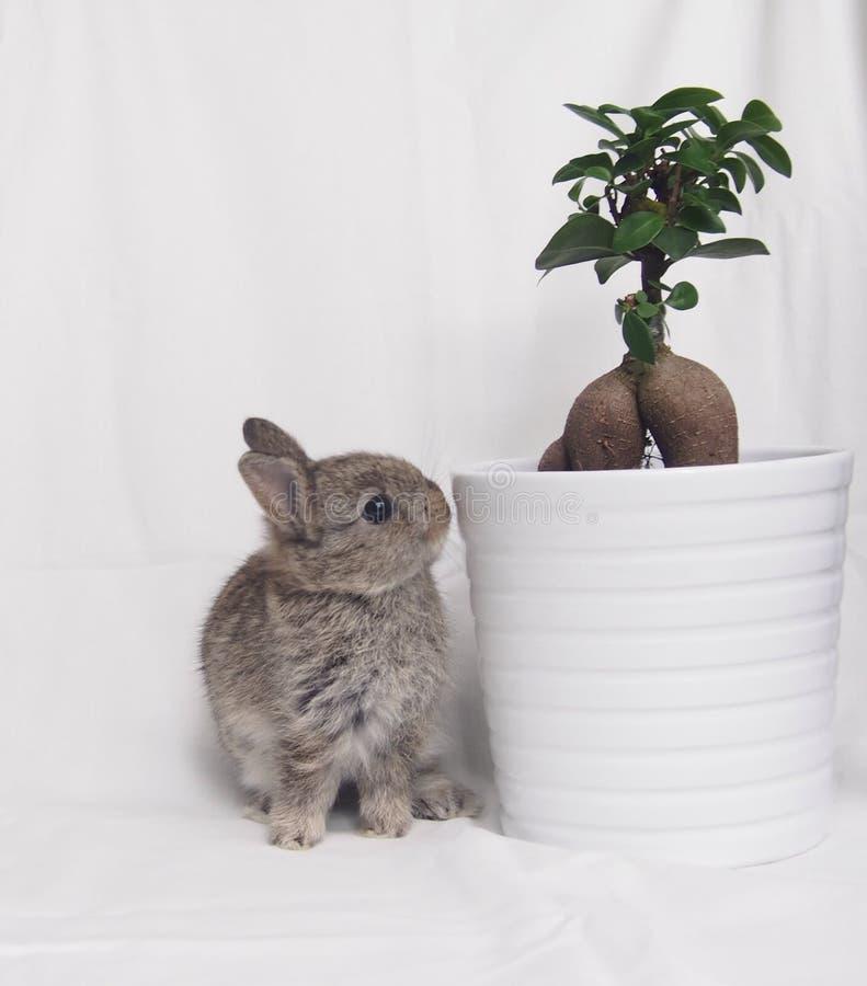 Anão e planta curiosos de Netherland da castanha imagens de stock