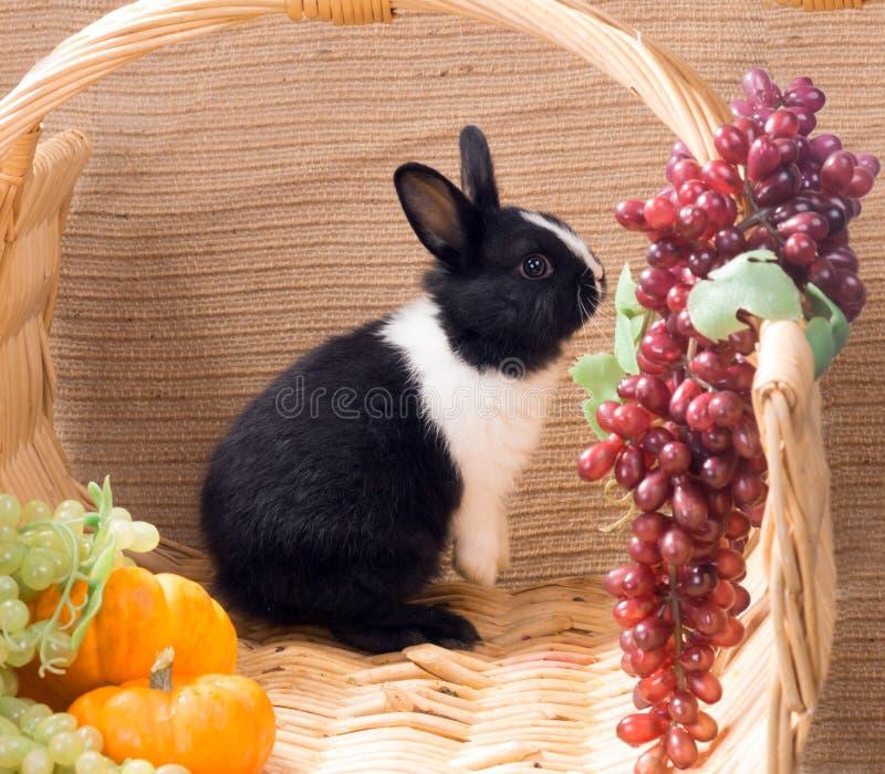 Anão holandês preto e branco mensal do coelho que está nos pés traseiros fotografia de stock