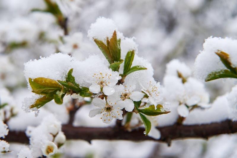 Anéis cobertos de neve da maçã foto de stock royalty free