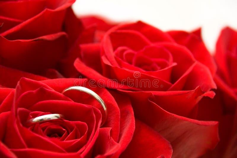 Anéis dentro de Rosa vermelha fotos de stock