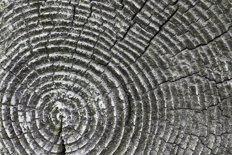 Anéis na seção de madeira spruce velha imagens de stock