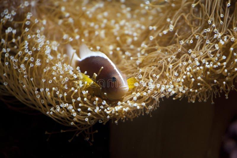 Anémona amarilla del clownfish y de mar en acuario fotos de archivo libres de regalías