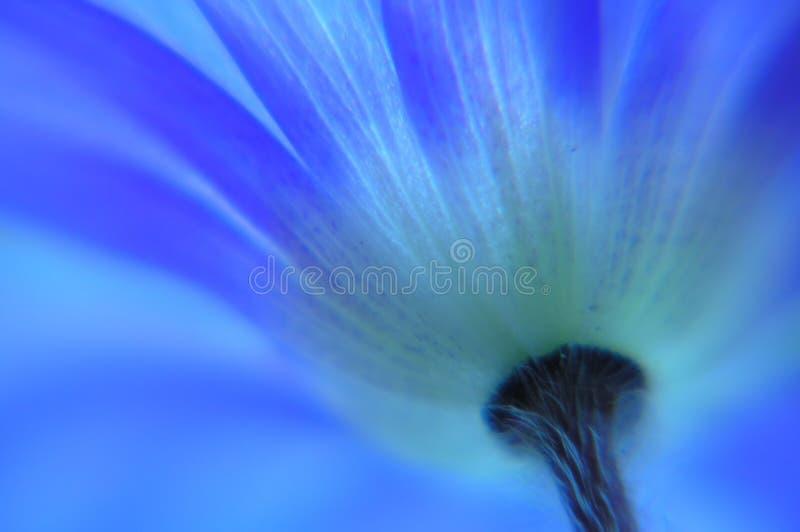 Anémona azul imágenes de archivo libres de regalías