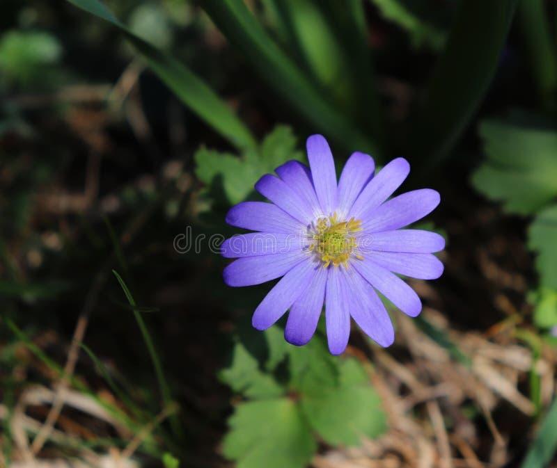 Anémona balcánica, windflower griego o windflower del invierno, una primavera temprana floreciente de la flor azul preciosa Anemo imagen de archivo