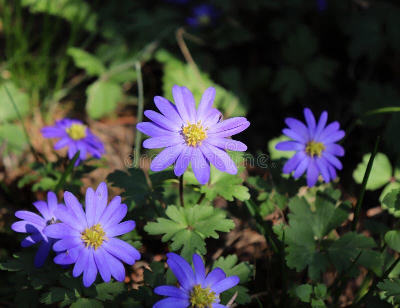 Anémona balcánica, windflower griego o windflower del invierno, una primavera temprana floreciente de la flor azul preciosa Anemo fotografía de archivo