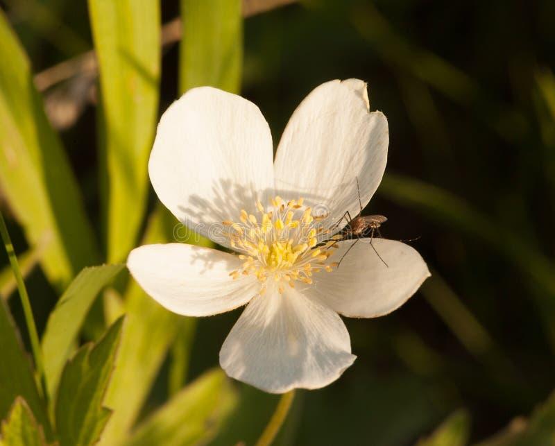 Anémona de Canadá con el mosquito en luz de la mañana imagenes de archivo