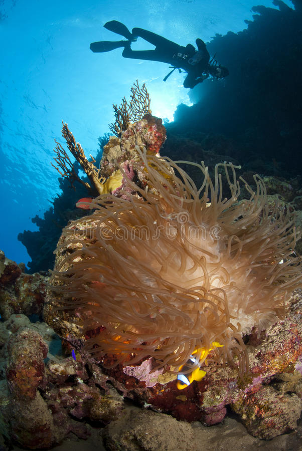 Anémona de mar, clownfish y silueta del zambullidor de equipo de submarinismo. foto de archivo