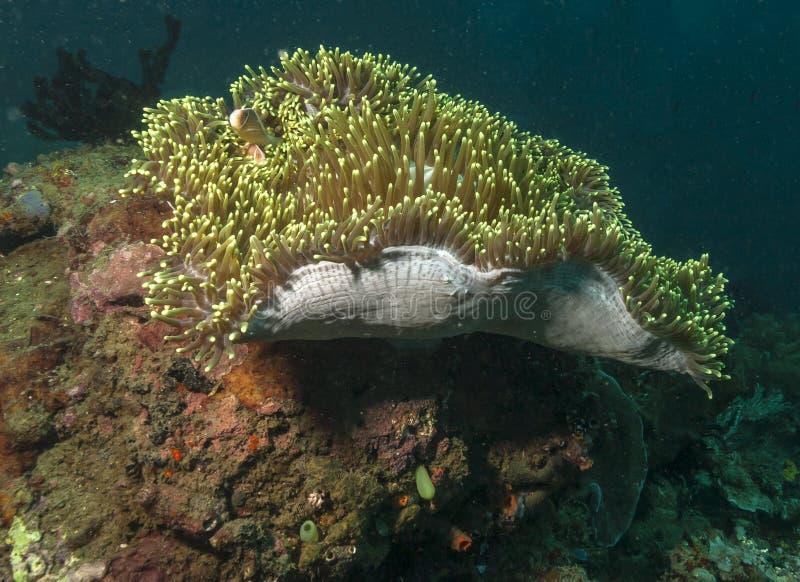 Anémona de mar con clownfish fotos de archivo