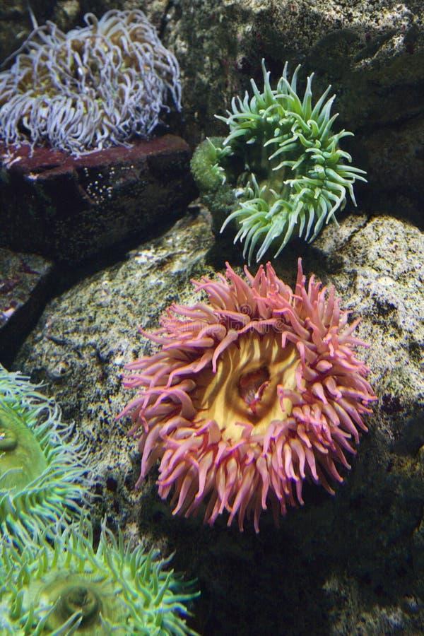 Anémona de mar en acuario en España. imagen de archivo libre de regalías