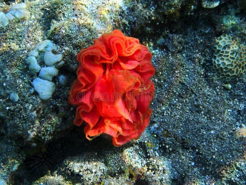 Anémona de Mar Rojo - Bali Indonesia Asia imágenes de archivo libres de regalías