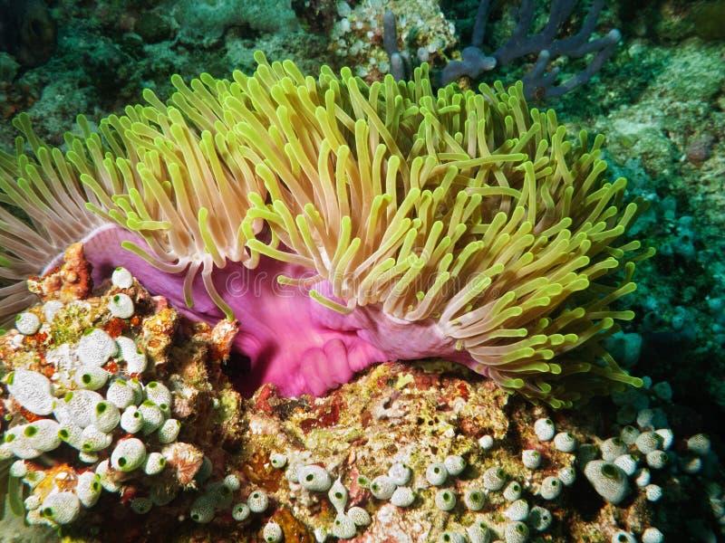 Anémona de mar violeta foto de archivo libre de regalías