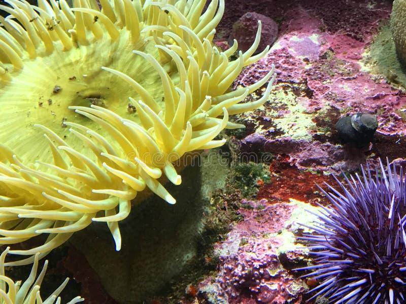 Anémona de Yellow Sea imagenes de archivo