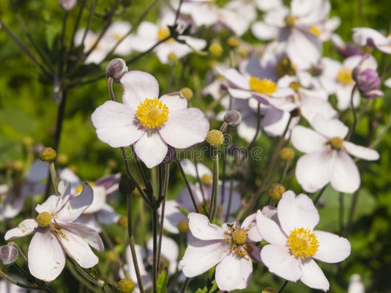 Anémona japonesa, hupehensis de la anémona, flores en el primer del macizo de flores, foco selectivo, DOF bajo imagen de archivo libre de regalías