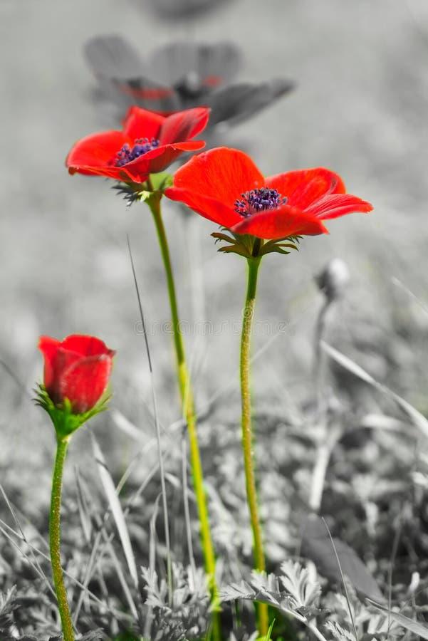 Anémona salvaje hermosa (windflower) para el día de tarjeta del día de San Valentín - imagen de archivo