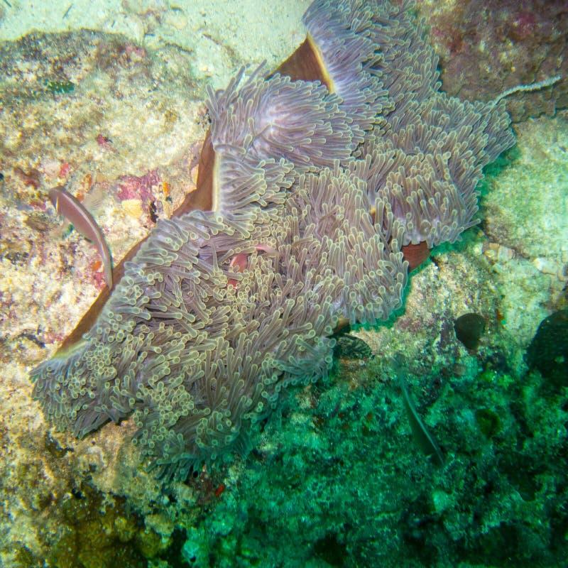 Anémona subacuática, un animal que parece una flor foto de archivo
