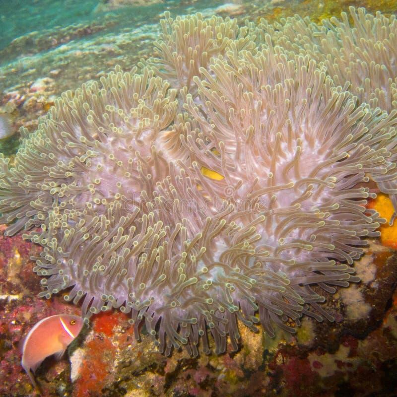 Anémona subacuática, un animal que parece una flor imagenes de archivo