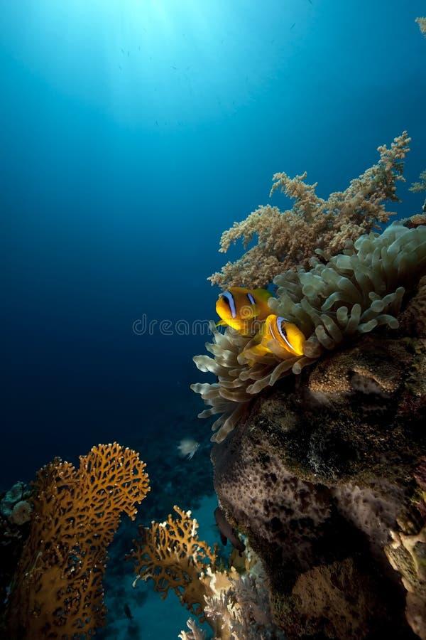 Anémone, anemonefish et océan large images libres de droits
