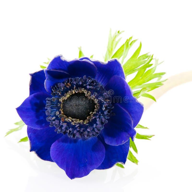 Anémone bleue photographie stock