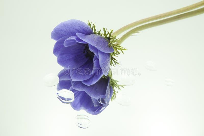 Anémone bleue reflétée dans le miroir horizontalement avec des gouttes de l'eau sur le fond blanc image stock