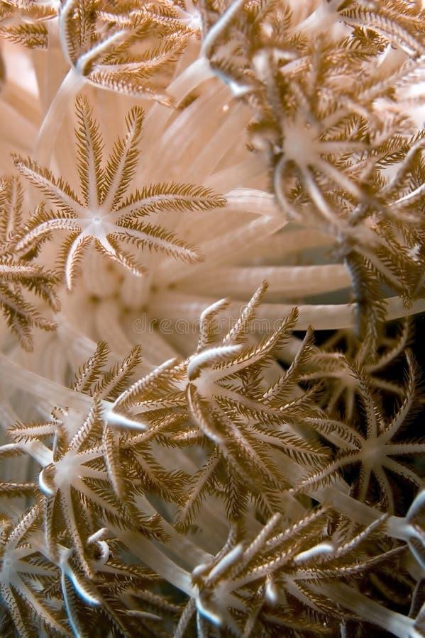 Anémone, corail mou images libres de droits