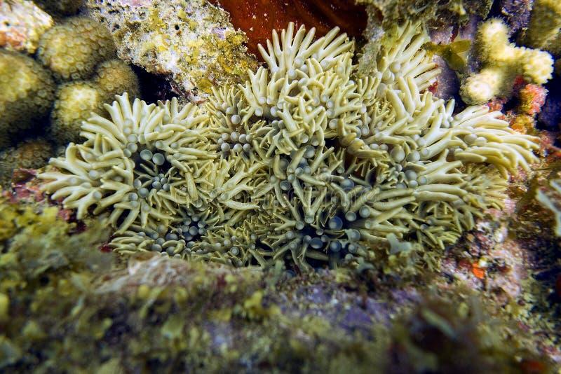 Anémone de embranchement dans Coral Reef (le DANAE de Lebrunia) image libre de droits