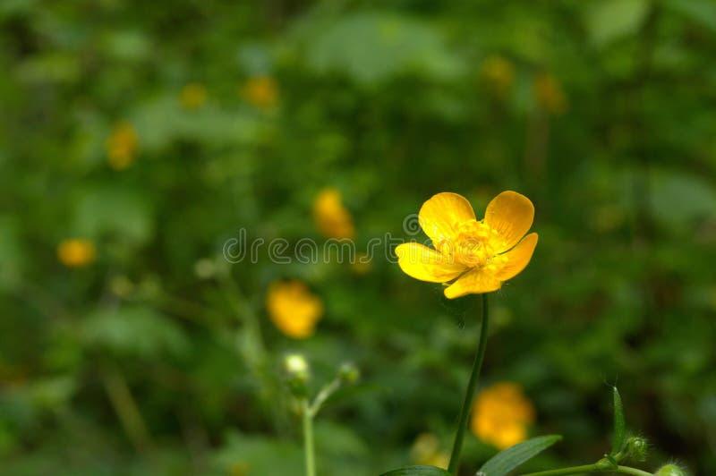Anémone en bois jaune sauvage images libres de droits