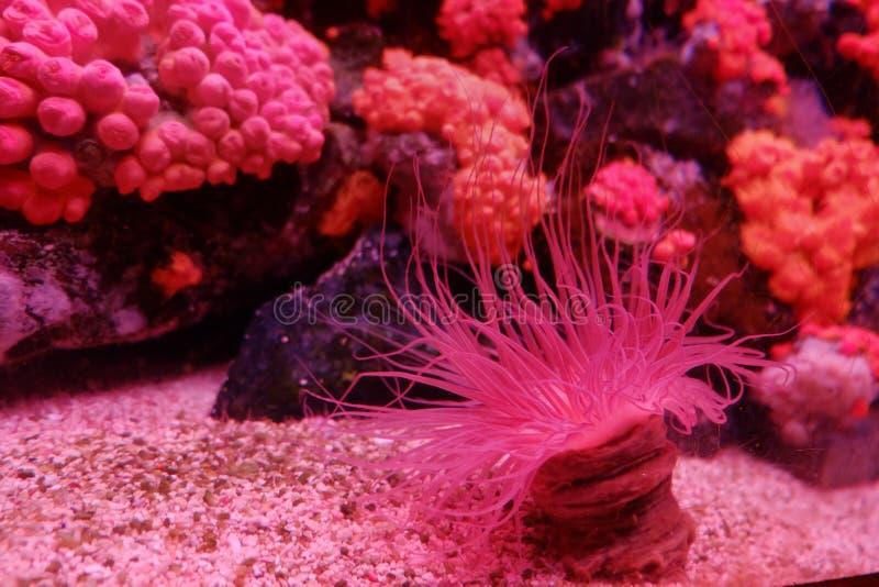 Anémone et corail rouges image libre de droits