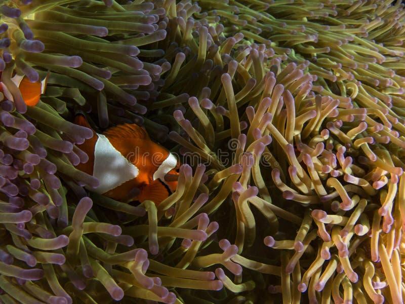 Anémone-poissons et anémone images libres de droits
