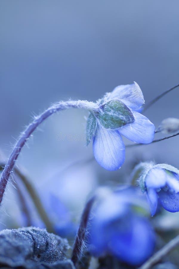 Anêmona azul de florescência imagens de stock royalty free