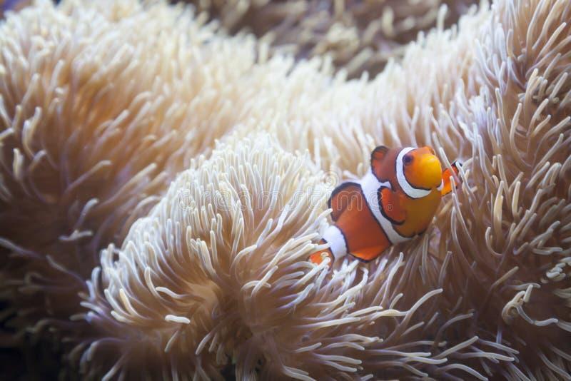Anêmona bonita de Clownfish e de mar imagem de stock