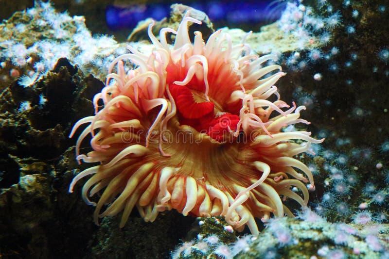 Anêmona cor-de-rosa e vermelha no recife de corais no oceano foto de stock royalty free