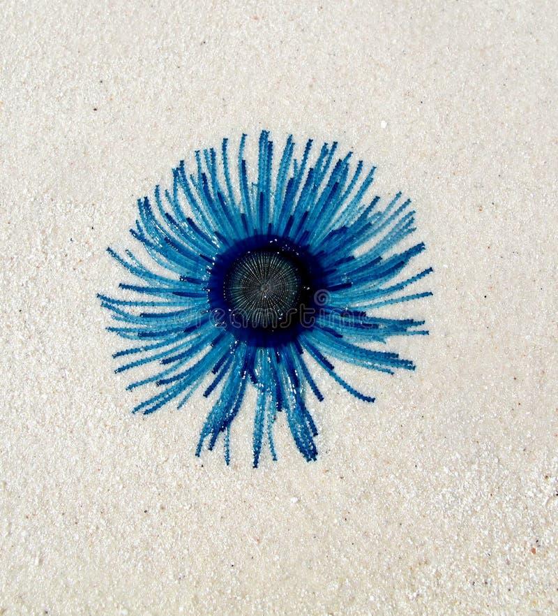 Anêmona de mar azul atrativa na praia na ilha de Ta-chai, ao sul de Tailândia fotos de stock royalty free
