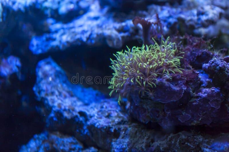 Anêmona de mar nos recifes de corais imagens de stock royalty free