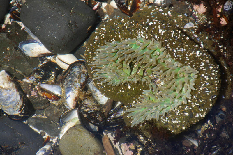 Anêmona de mar verde de néon foto de stock