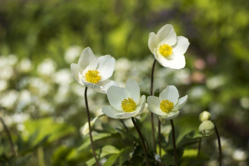 A anêmona de snowdrop dos sylvestris da anêmona é uma planta constante que floresce na mola, flores brancas no jardim botânico, f fotos de stock