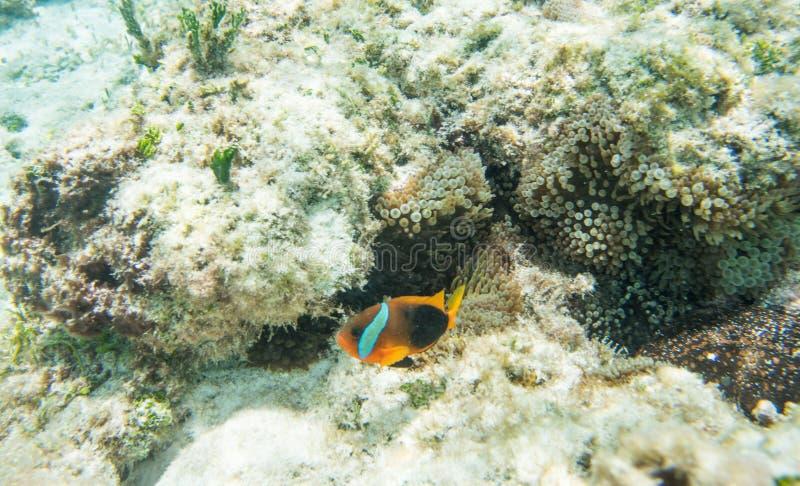 Anêmona freada de Clownfish e de recife foto de stock royalty free