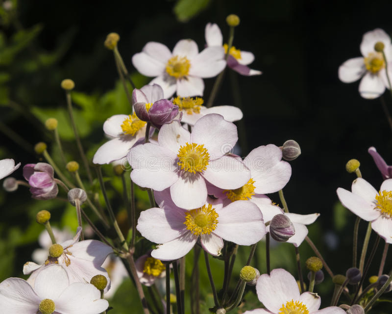 Anêmona japonesa, hupehensis da anêmona, flores no close-up do canteiro de flores, foco seletivo, DOF raso imagem de stock