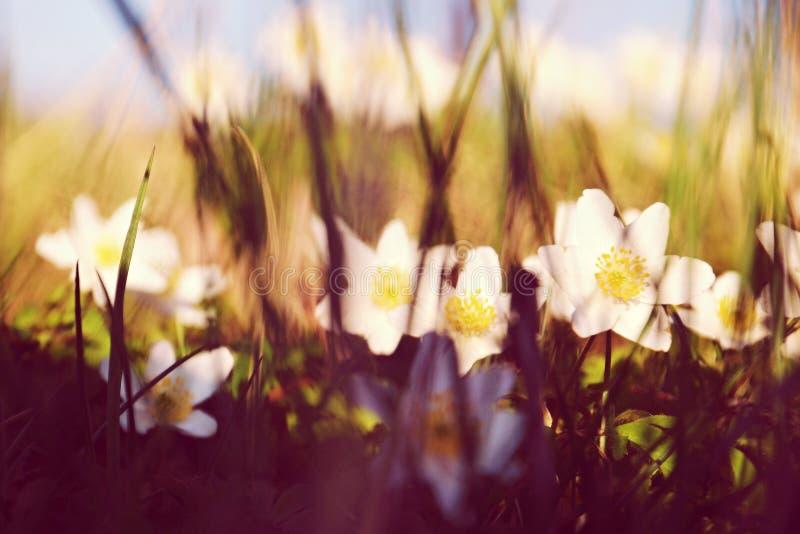 Anêmonas bonitas brancas foto de stock royalty free