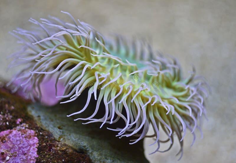 Anêmonas de mar imagem de stock