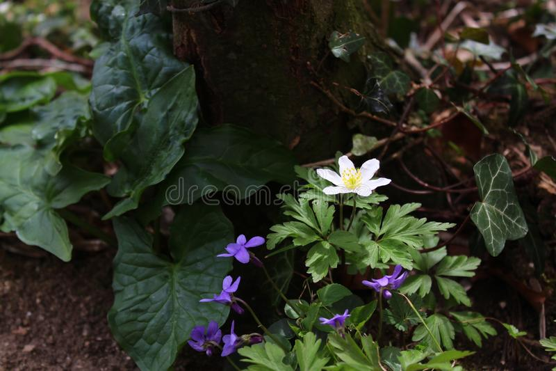 Anêmonas e violetas fotografia de stock royalty free