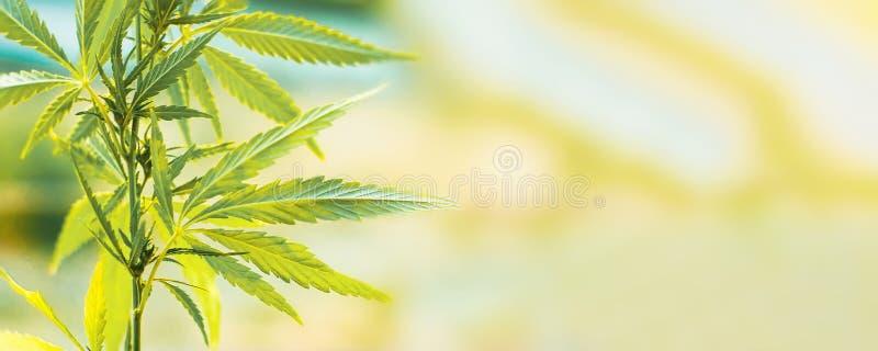 Anúncio publicitário do cannabis para crescer Conceito da medicina alternativa erval, óleo de CBD foto de stock royalty free