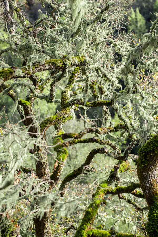 Free An Oak Tree Covered In Lace Lichen (Ramalina Menziesii) Royalty Free Stock Images - 64048939