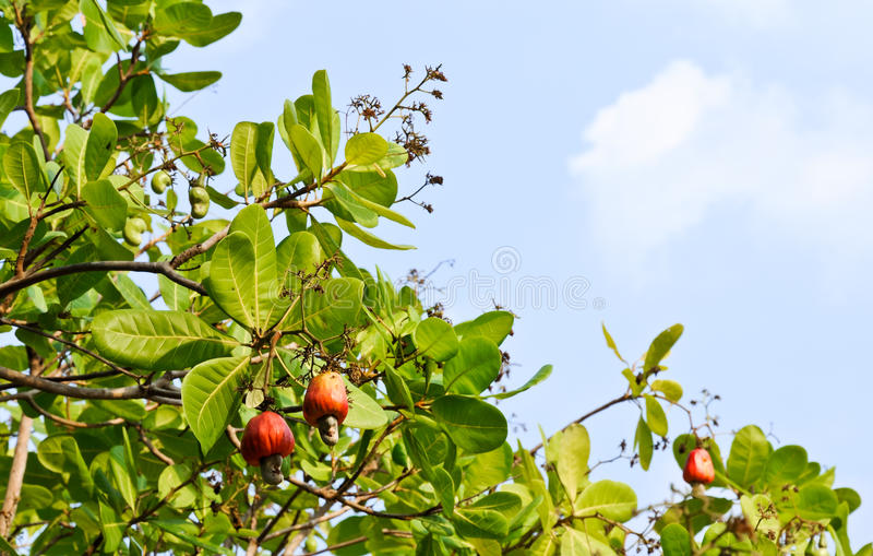 Anacarde sur l'arbre images libres de droits