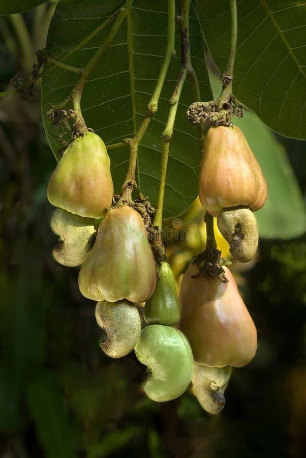 Anacardi e mele sulla pianta fotografia stock